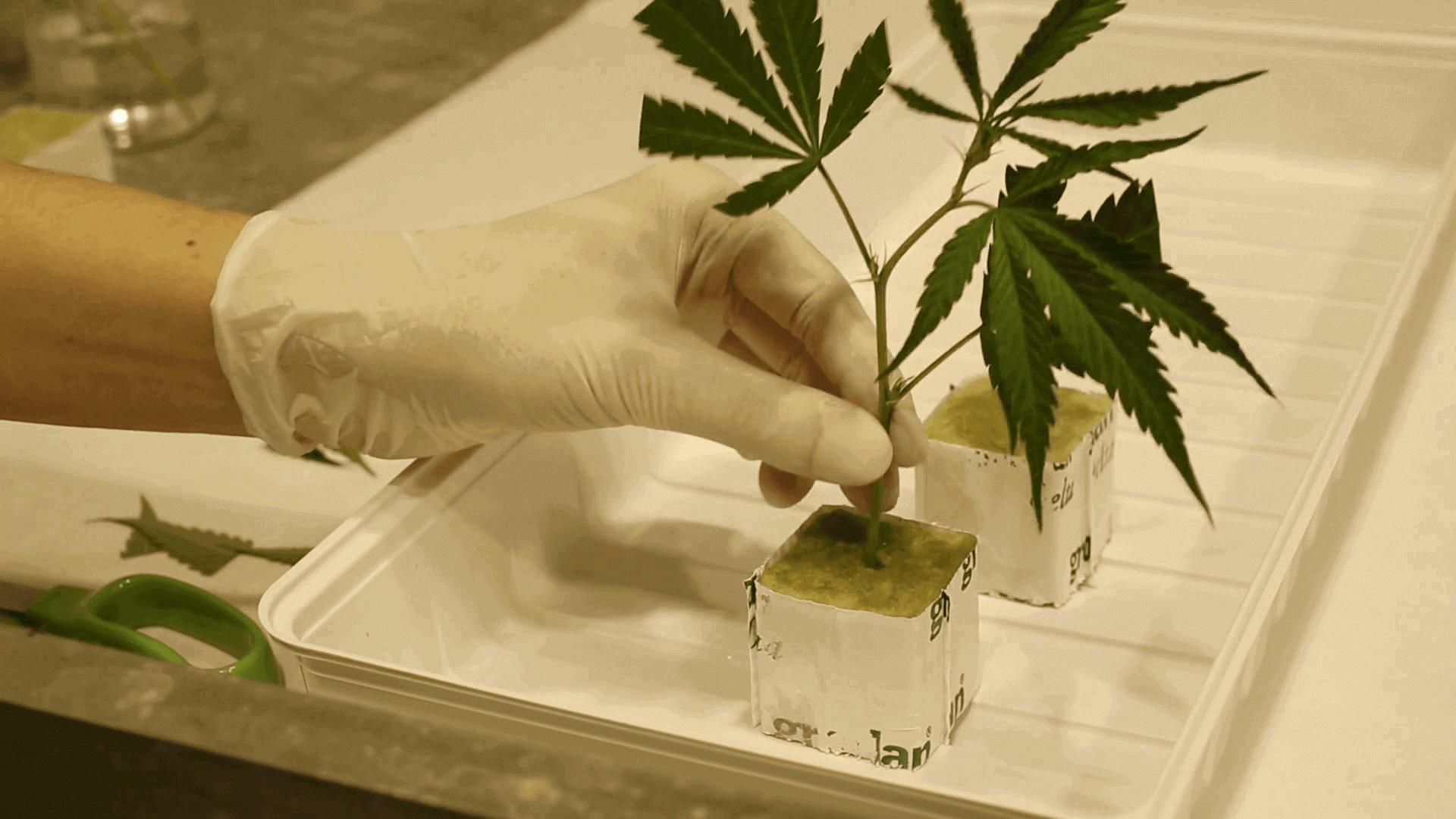 marijuana in lana di roccia