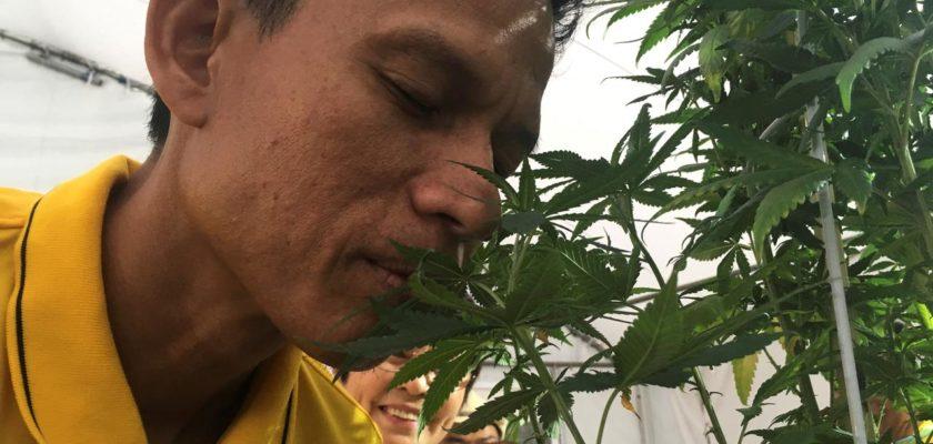 cannabis Tailandia
